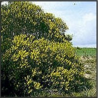 Acacia longifolia (Andrews) Willd